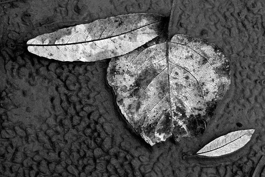 Leaves in Mud