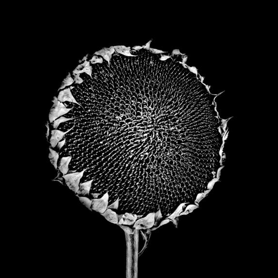 Sunflower No 4