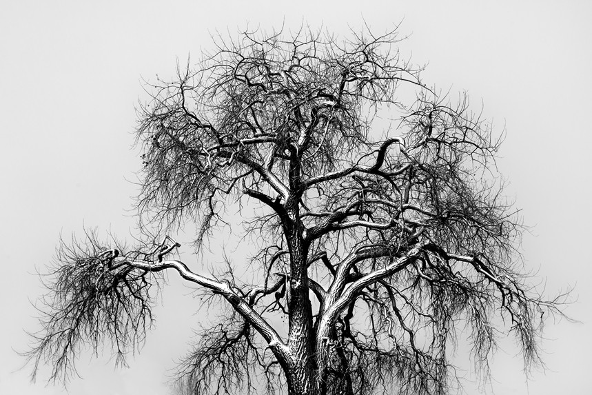 Old Cottonwood in Snowstorm