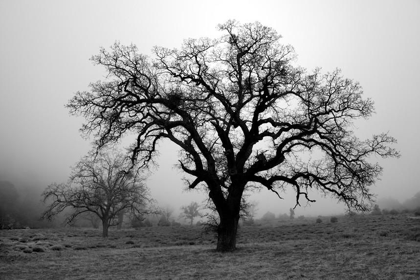 Tree in Lifting Fog